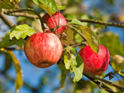 Obst selber pflücken
